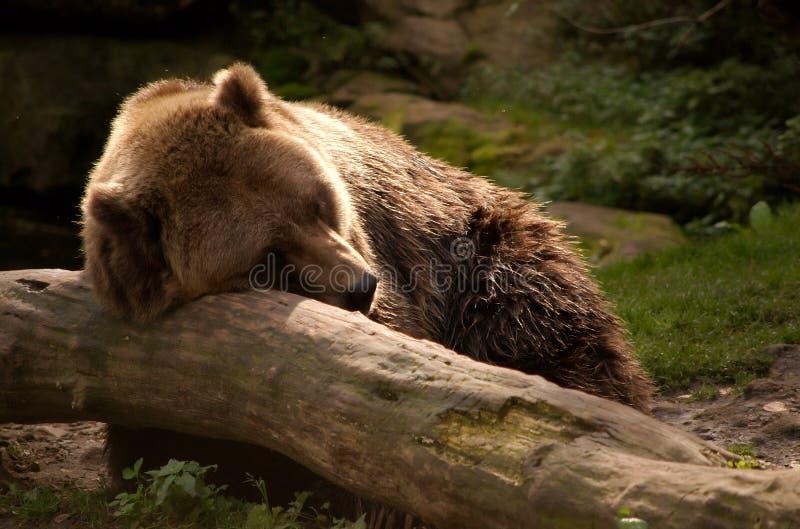 熊北美灰熊休息 免版税图库摄影