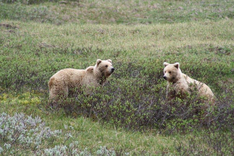 熊北美灰熊兄弟 免版税库存图片