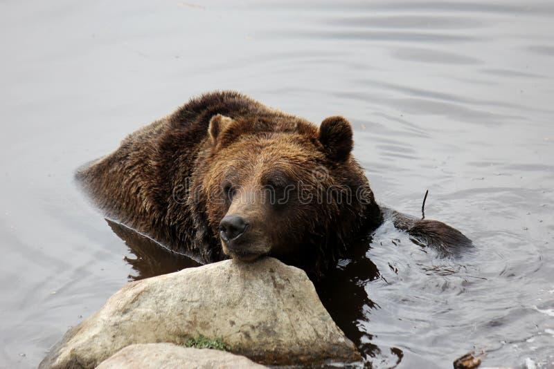 熊北美灰熊水 免版税库存照片