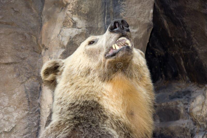 熊北美灰熊纵向 免版税库存图片