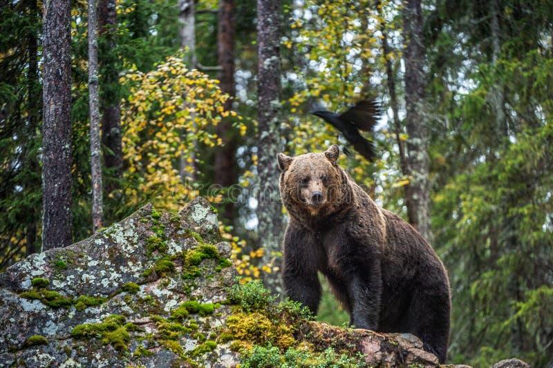 熊和掠夺 免版税图库摄影