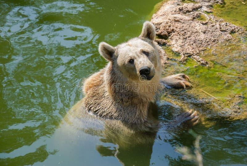 熊在水中 免版税库存照片