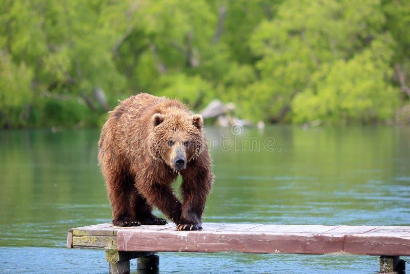 熊在湖钓鱼 免版税库存图片