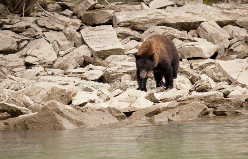 黑熊在狂放,不列颠哥伦比亚省 库存照片