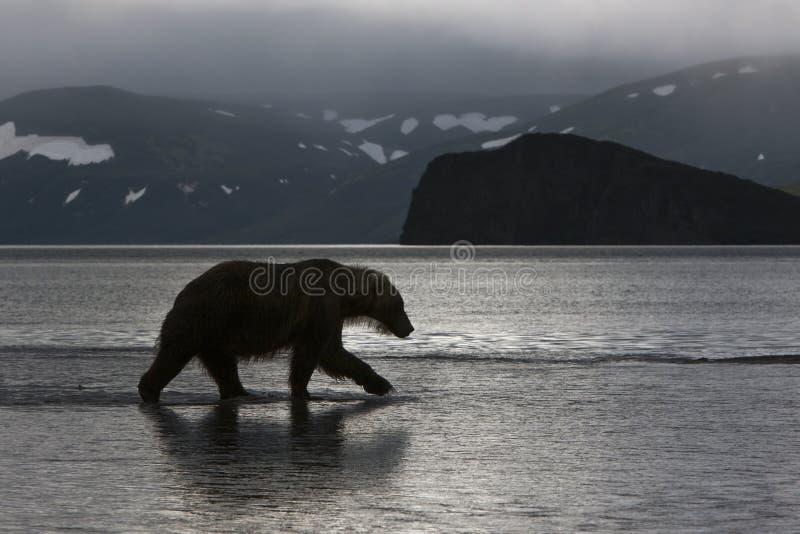 熊在黎明 免版税库存照片