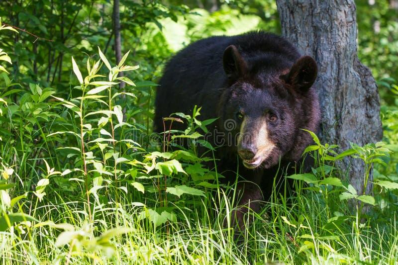 黑熊在绿色森林里 免版税库存图片