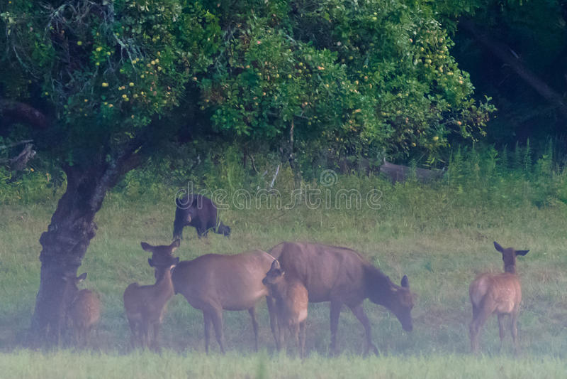 黑熊威胁麋牧群  免版税图库摄影