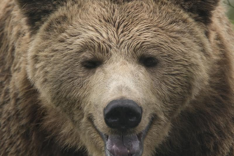 熊属类arctos arctos,欧洲棕熊画象关闭 免版税库存图片