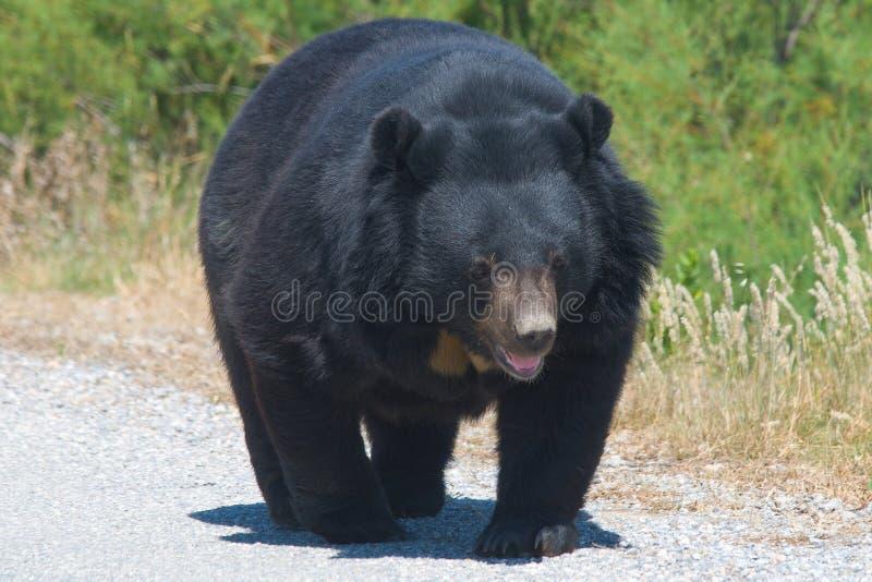 熊属类thibetanus 免版税库存照片
