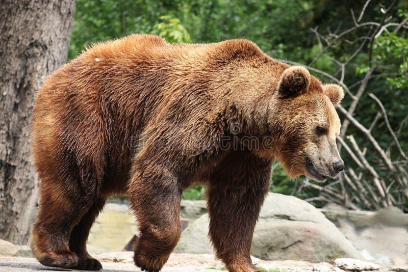 熊属类arctos 图库摄影