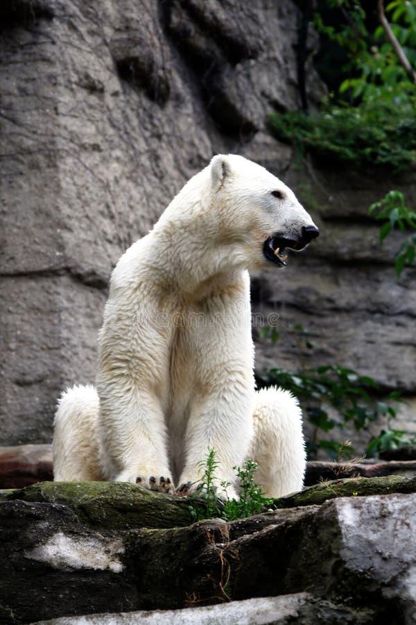熊张口结舌极性 库存图片