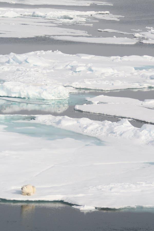 熊极性横向的镜子 免版税图库摄影