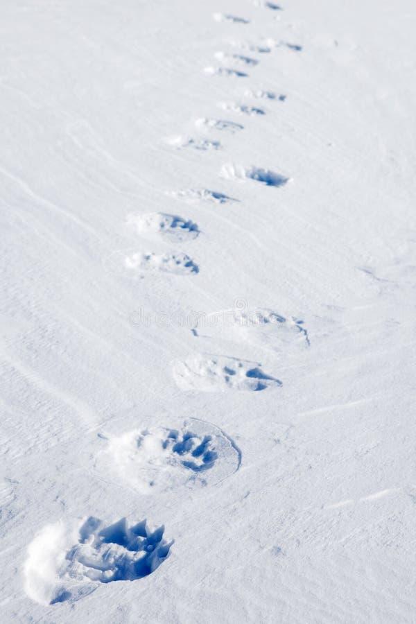 熊极性跟踪 图库摄影