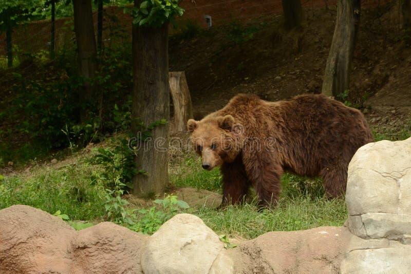 熊棕色堪察加 库存照片