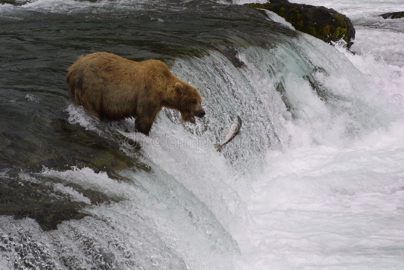 熊棕色捕鱼 库存照片