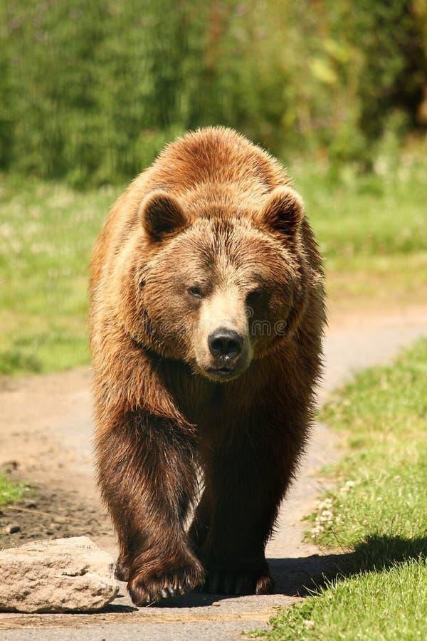 熊棕色欧洲照片 免版税库存图片