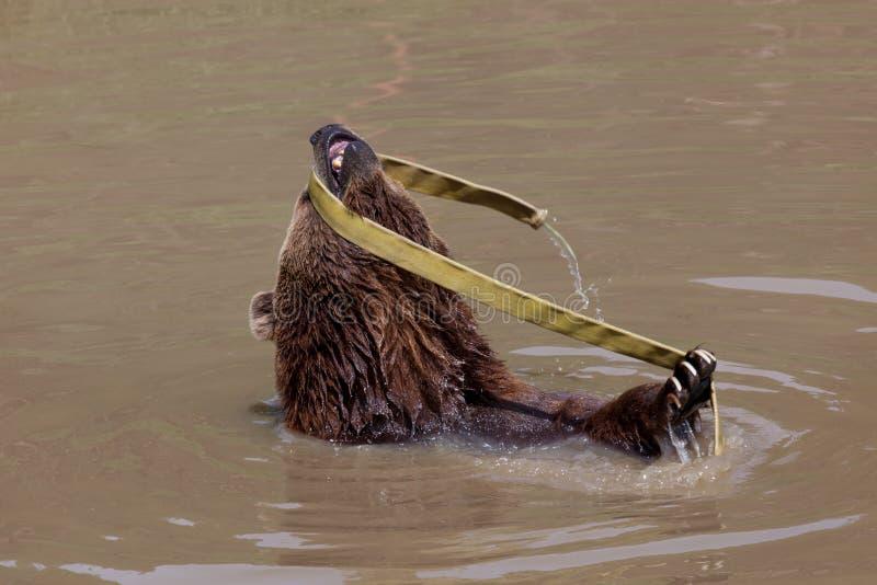 熊棕色滑稽 免版税库存照片