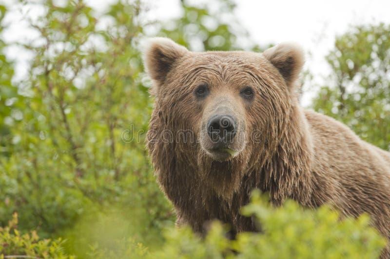 熊棕色男 免版税图库摄影