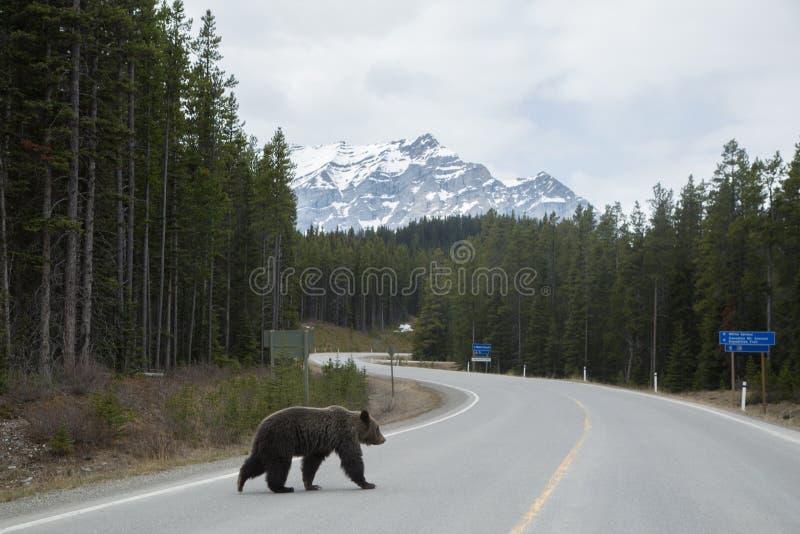 熊横穿路 免版税库存照片