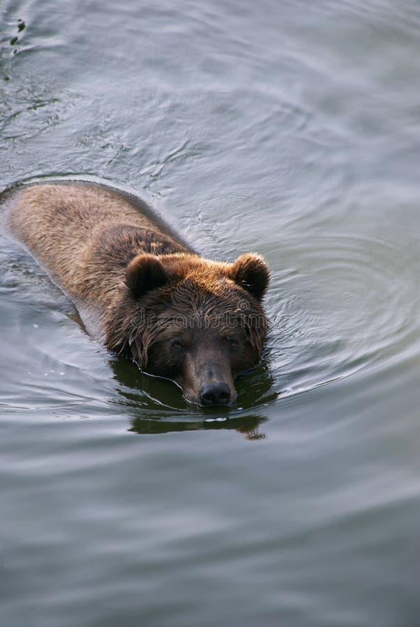 熊游泳 免版税库存图片
