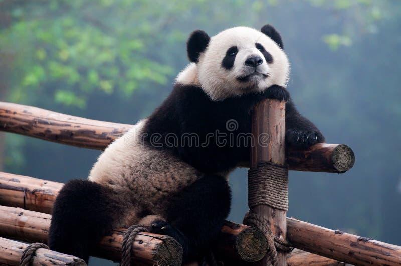 熊照相机逗人喜爱大熊猫摆在 库存图片