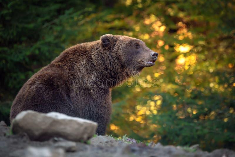 熊熊属类arctos在秋天森林里 库存图片