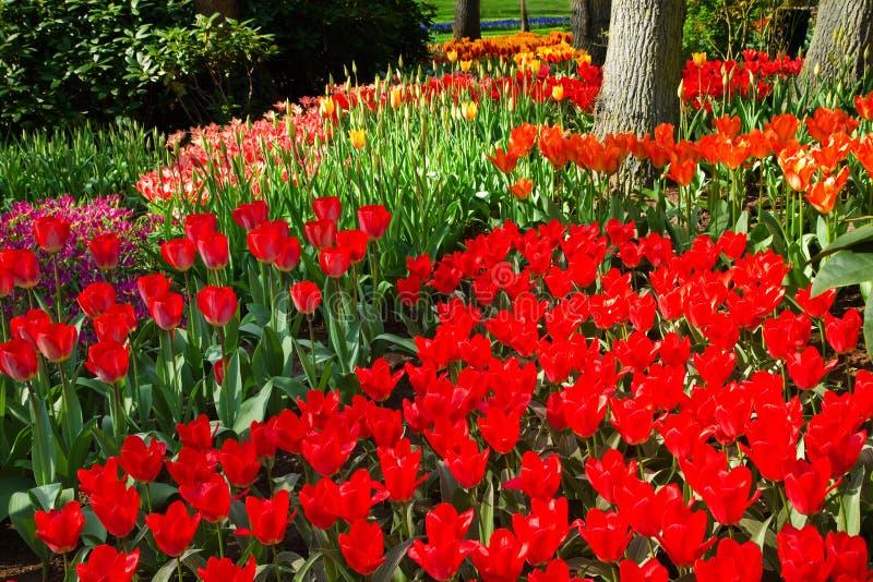 熊熊的橙色公园红色春天郁金香 库存照片