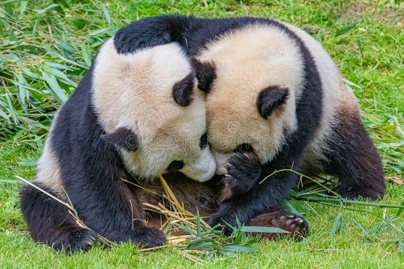 熊猫、母亲和它的年轻人 免版税库存图片