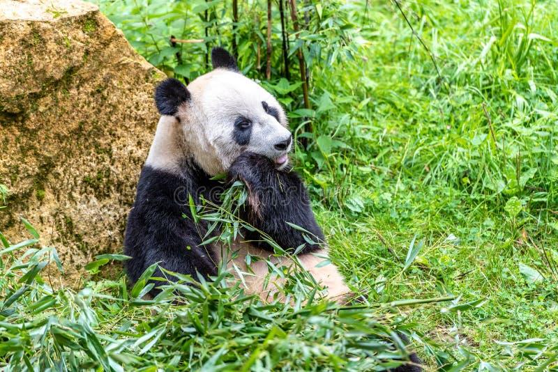 熊猫休息吃完 免版税库存图片