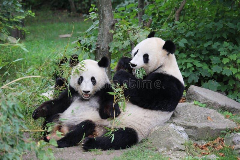 熊猫午餐 免版税图库摄影