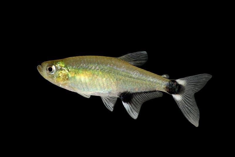 熊猫四黎明四Aphyocharax paraguayensis淡水水族馆鱼 免版税库存照片