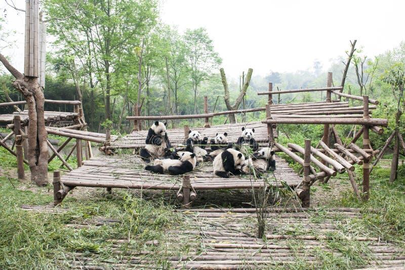 熊猫在成都,中国 免版税库存照片