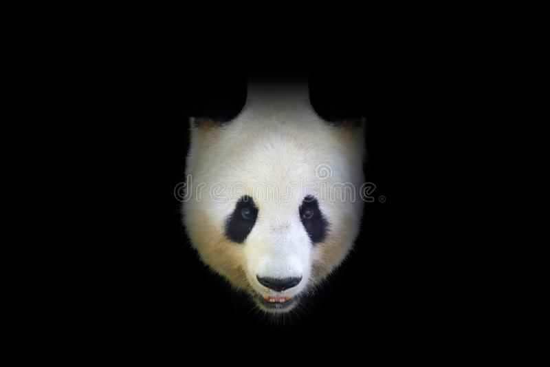 熊猫,细节画象 从中国自然的野生生物场面 在森林逗人喜爱黑白的黑暗的树掩藏的大熊猫 免版税库存照片