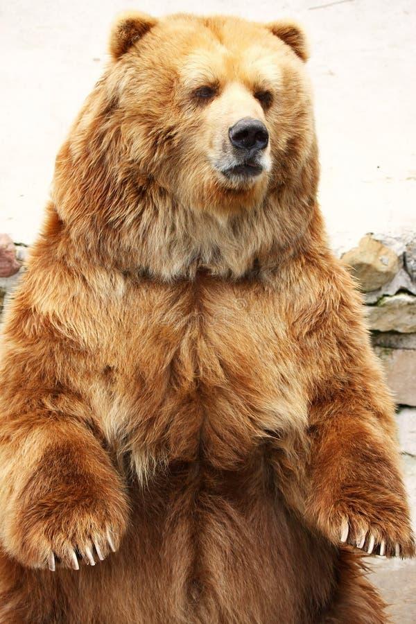 熊褐色身分 免版税库存照片