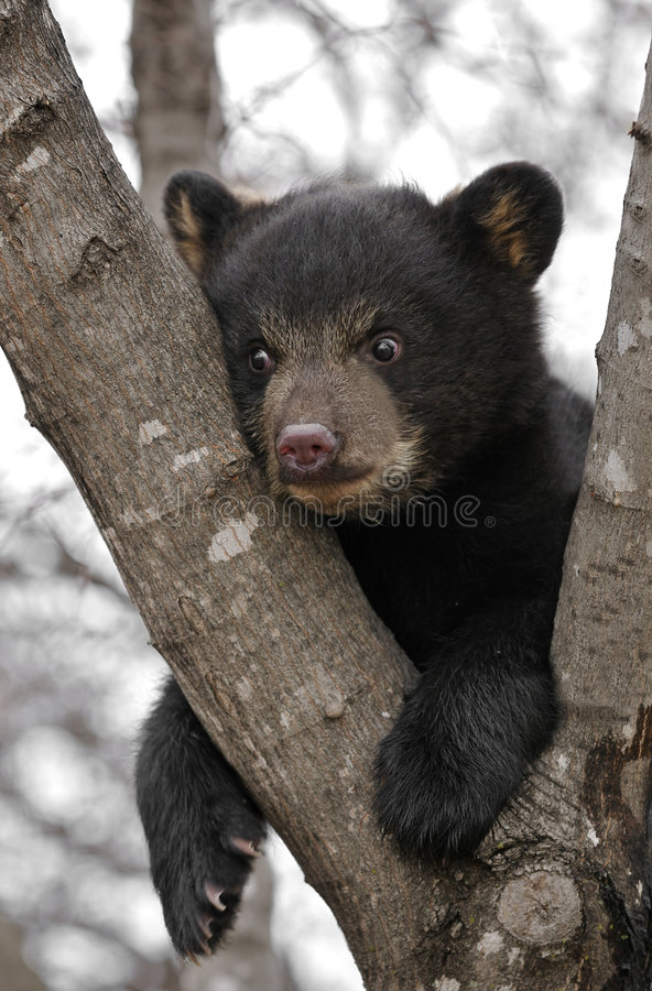 熊黑色崽停止结构树 免版税库存照片
