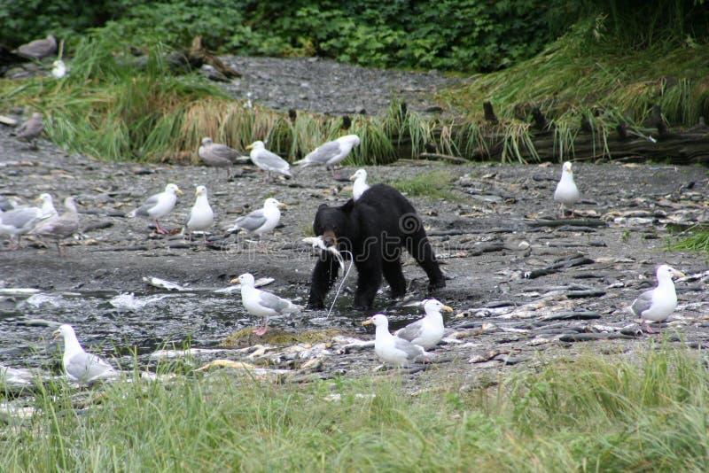 熊黑色捕鱼 库存照片