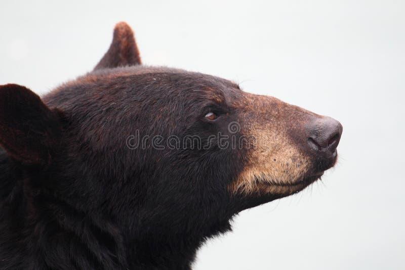 熊黑色 库存图片
