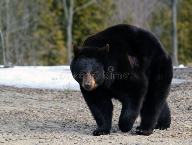 熊黑色 免版税库存照片