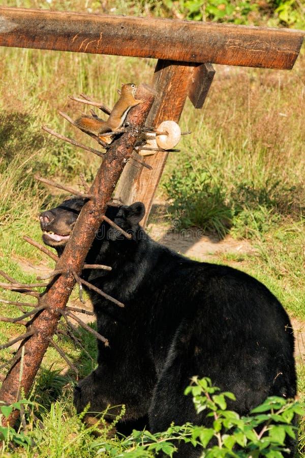 黑熊,当吃与灰鼠时 库存图片