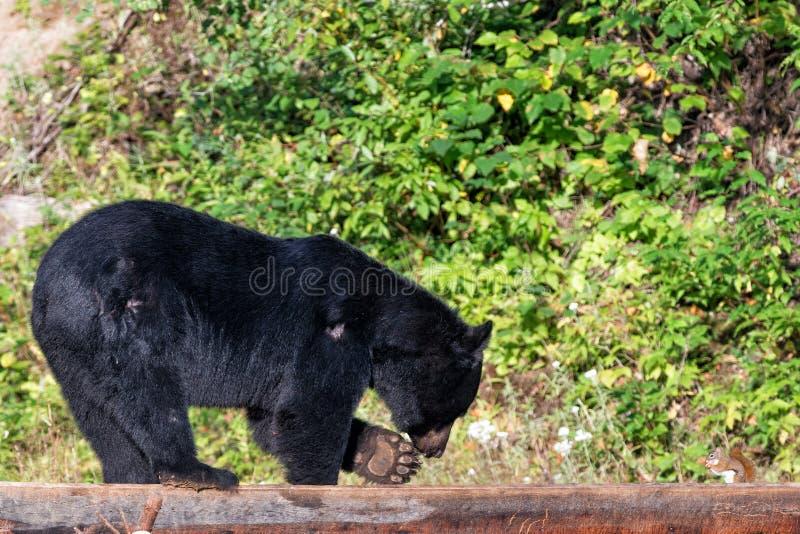 黑熊,当吃与灰鼠时 免版税图库摄影