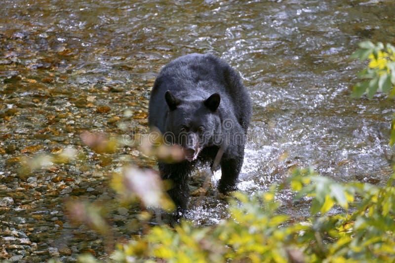 熊黑色捕鱼 图库摄影