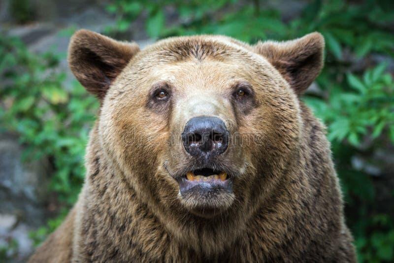 熊` s正面图 免版税库存照片