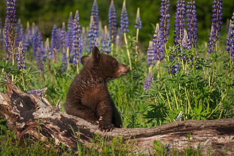 美洲色�_黑熊cub熊属类美洲的神色在日志后