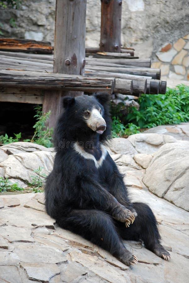 熊Gubach在莫斯科动物园里 俄国 库存照片