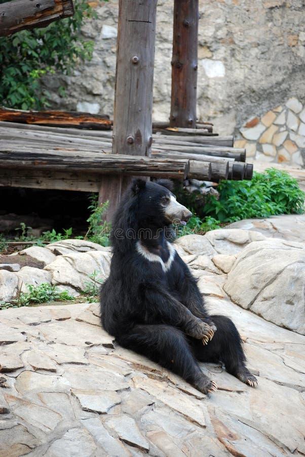 熊Gubach在莫斯科动物园里 俄国 免版税库存图片