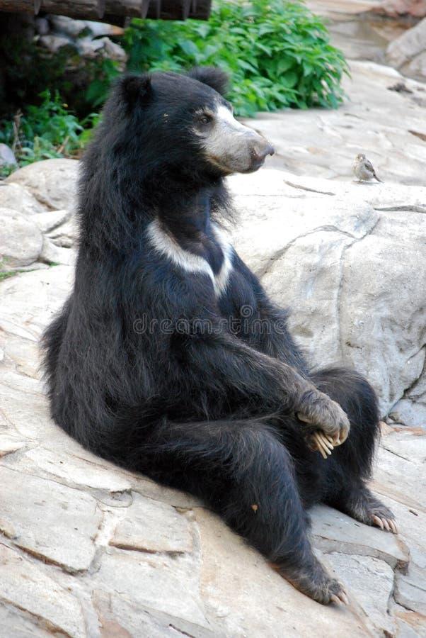 熊Gubach在莫斯科动物园里 俄国 库存图片