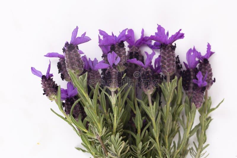 熏衣草属Stoechas法国淡紫色;西班牙淡紫色;被冠上的淡紫色;隔绝在白色 免版税库存照片