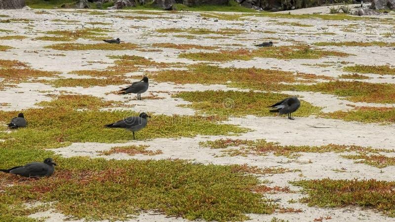 熔岩在加拉帕戈斯骗在一个海滩的嵌套在isla genovesa 免版税库存图片