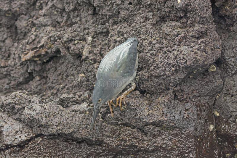 熔岩苍鹭保持平衡触击 库存照片