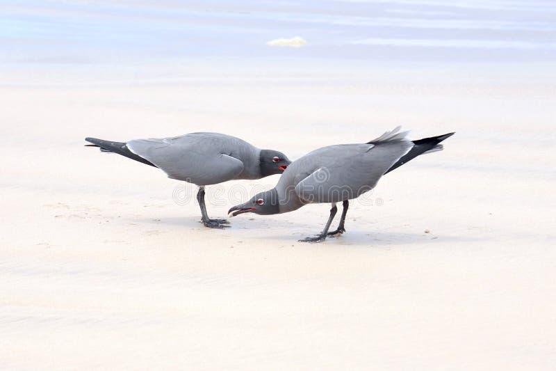 熔岩鸥,伊莎贝拉岛海岛,加拉帕戈斯 库存图片